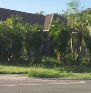 palm or yucca like plant