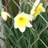 Daffodils by chain link fence.