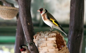 Golden Finch perched on a nesting basket in branches.
