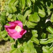 pink Rosa Rugosa