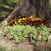 pansies at base of tree