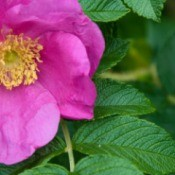 Close up of a single Roga Rugosa blossom against green folliage