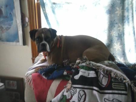 Boxer lying on blanket