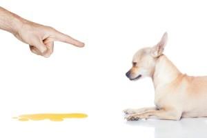 Finger pointing at Chihuahua laying next to a puddle of urine against a white background