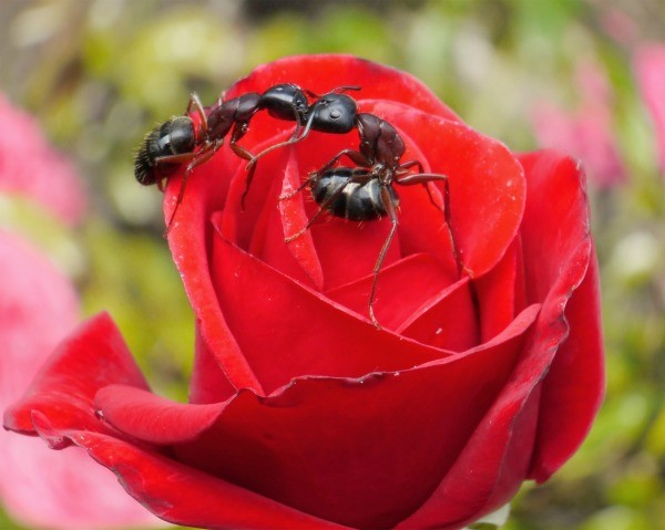 Getting Rid Of Ants On Roses Thriftyfun