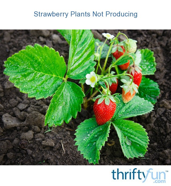Strawberry Plants Not Producing