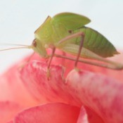 Close up image of an aphid on pink rose petals