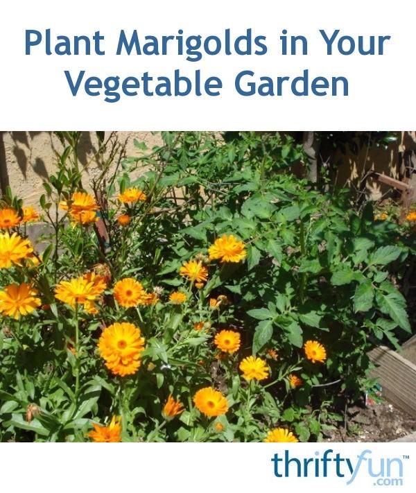 Plant Marigolds in Your Vegetable Garden   ThriftyFun