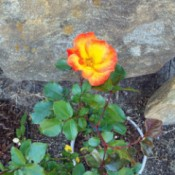 Yellow Rose (Lady Or Playboy)