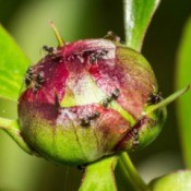 A peony bud covered in tiny sugar ants.