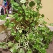 trailing plant