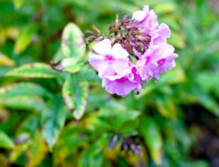 Close up of Phlox with pink blossoms and several leaves turning yellow