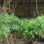 Hanging planter baskets holding tomato plants with numerous yellow blossoms and green cherry tomatoes against a rustic background.