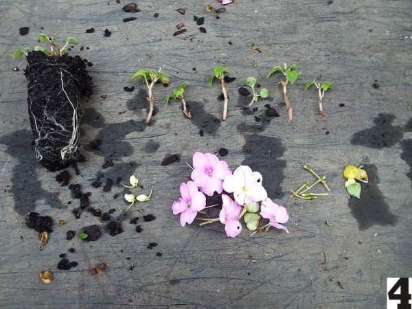 Rooting Impatiens Cuttings