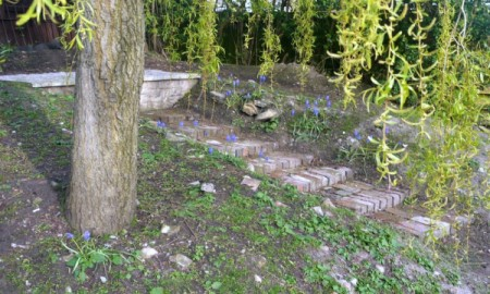 """Grape Hyacinth on our """"Junk Hill"""""""