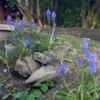 "Grape Hyacinth on our ""Junk Hill"""