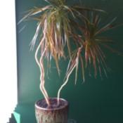 dracaena like plant