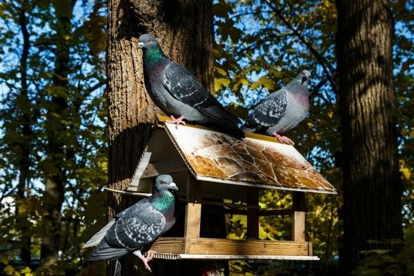 Three Pigeons On A Bird Feeder