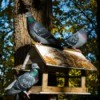 Three pigeons on a bird feeder