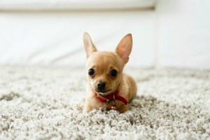 A chihuahua on a white carpet.