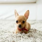 A chihuahua on a white carpet.