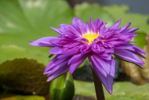 Purple lotus or water lily.
