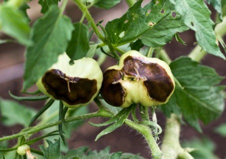 Tomatoes with blossom end rot.