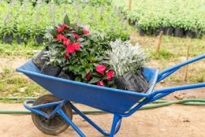 Phlox and Dusty Miller plants in a blue wheelbarrow