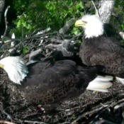 Watching an Eagle Cam
