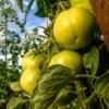 Green tomato plant in field.