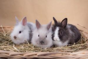 Keeping Dwarf Rabbits as Pets - three bunnies