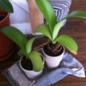 two bulb plants with broad med green leaves