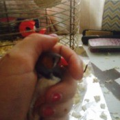 Caring for Zebra Finches