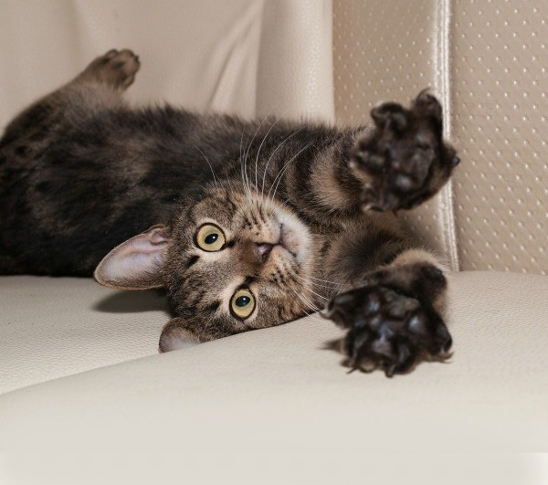 Cat Laying On Leather Couch With Claws Extended Toward Camera