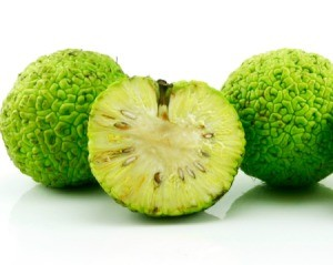 Whole and sliced Hedge Apples (Maclura pomifera) also known as Osage Oranges against a white background