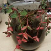 small trailing plant with medium green leaves with red undersides