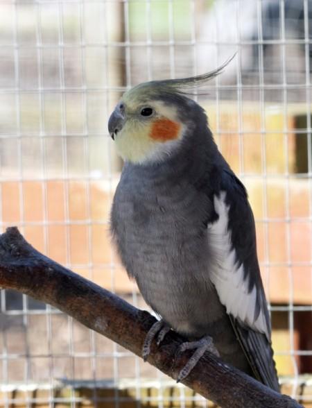 Clyde  (Cockatiel)