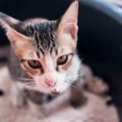Sick kitten looking up from inside litterbox