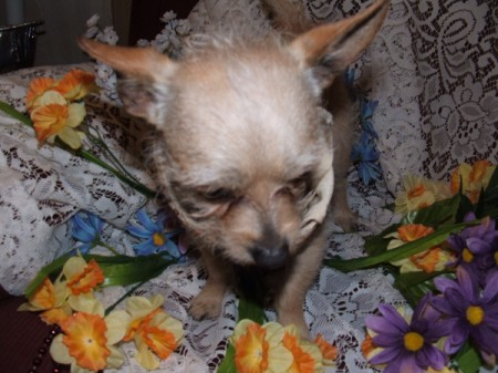 Sparky (Chihuahua Terrier Mix)