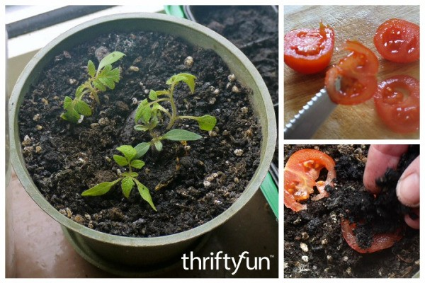 Growing Tomatoes From Slices Thriftyfun