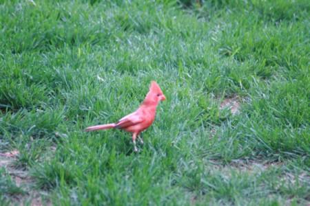 "My ""Odd"" Cardinal"
