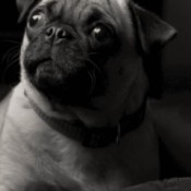 closeup of Pug