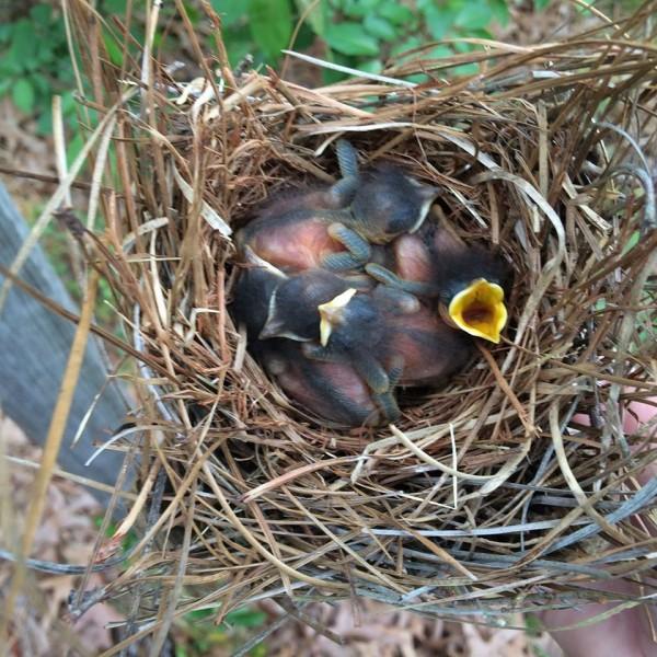 Baby Bird Photos and Information | ThriftyFun