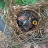 baby blue birds in a nest