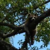 raccoon dangling in a tree to sleep