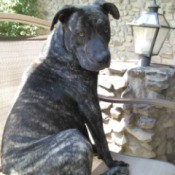dark brindle dog