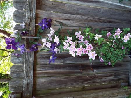 two clematis varieties growing together