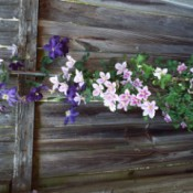 two clematis varieties growing together