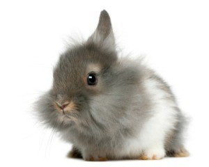 Very fluffy young grey and white lion head bunny.