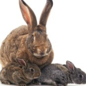 Brown mother rabbit and her babies